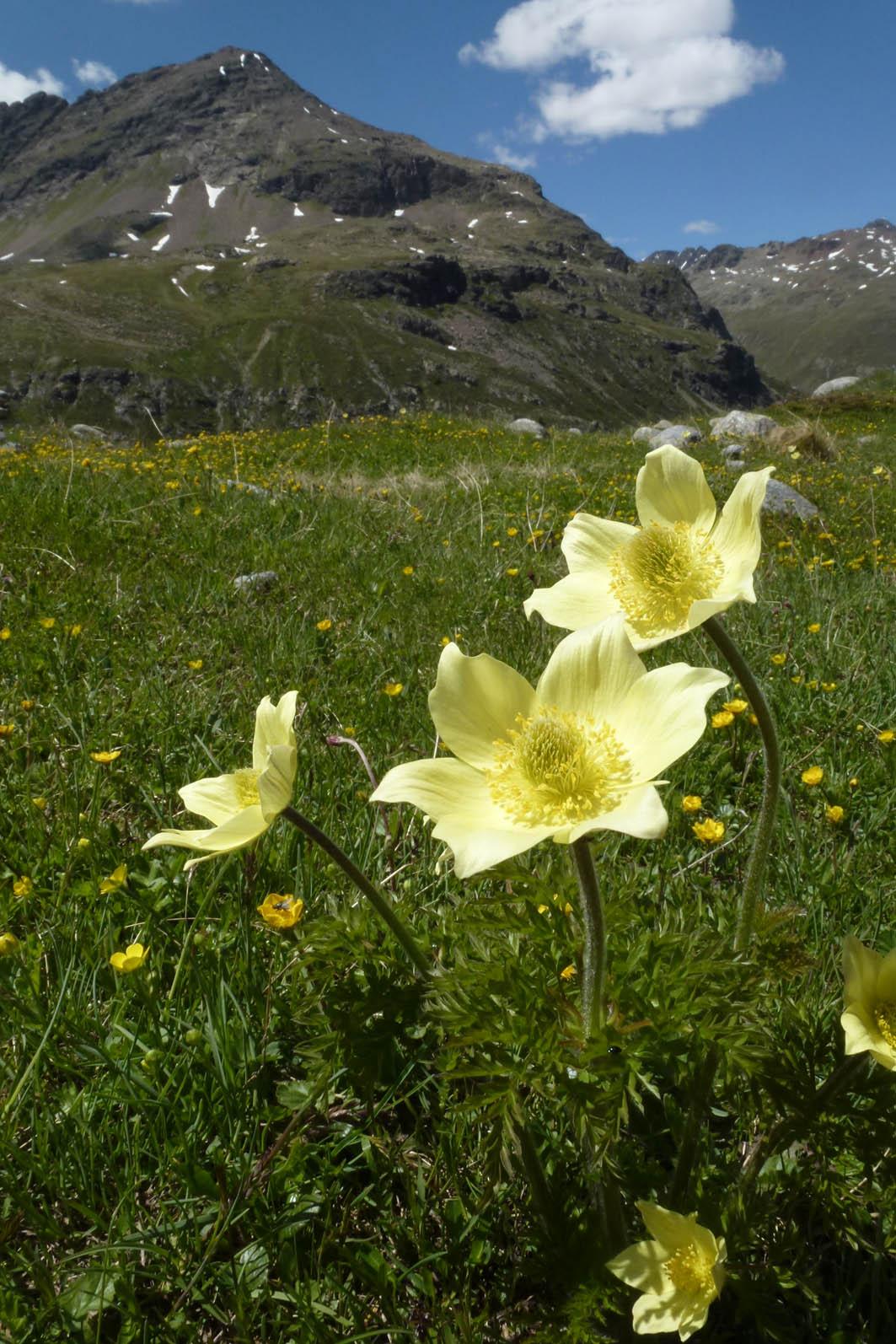 pustilla_alpina