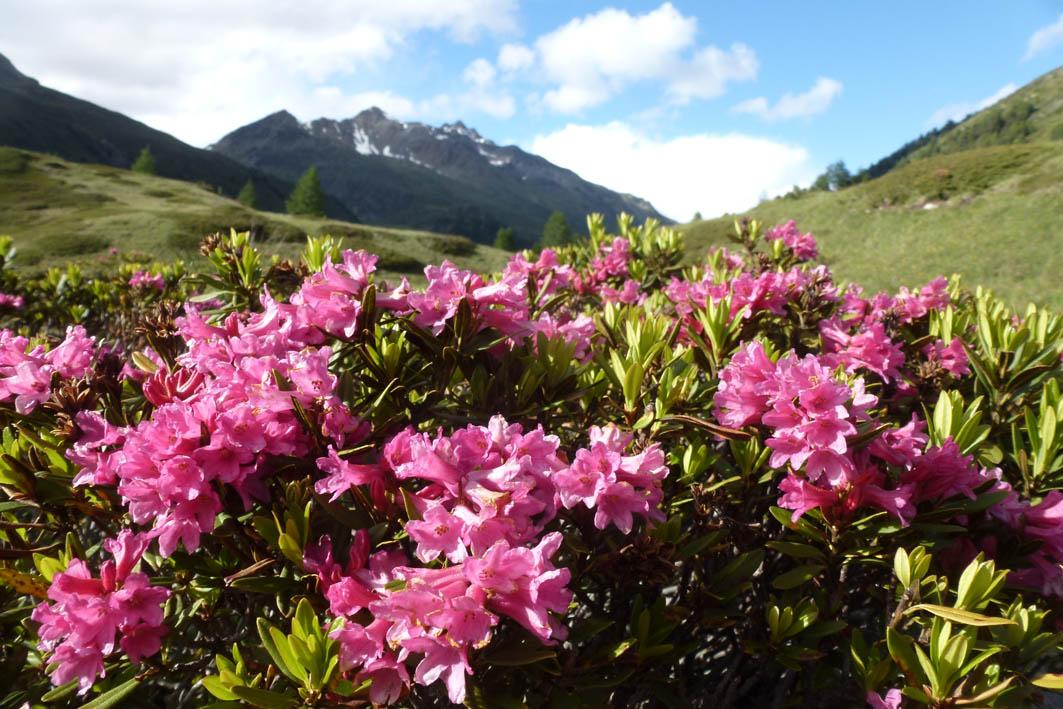 rhododendron_ferrugine